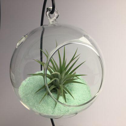 Hanging air plant terrarium