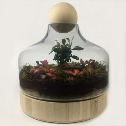 Large closed living terrarium with wooden base and distinctive wooden ball cap